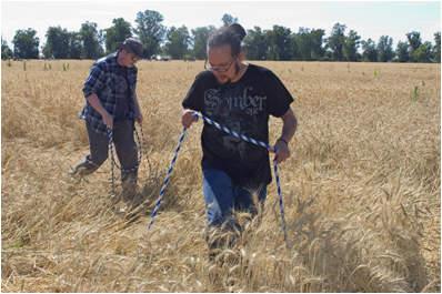 círculos campos de trigo